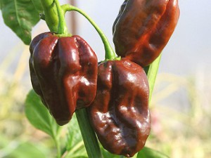 habanero-chocolate